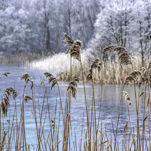"""Frozen reeds and lake"" stock image"
