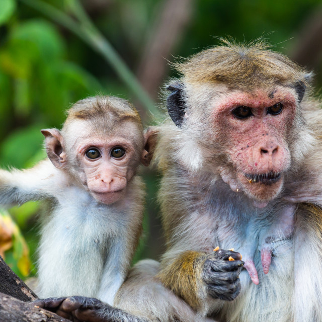"""Monkey mother and baby"" stock image"