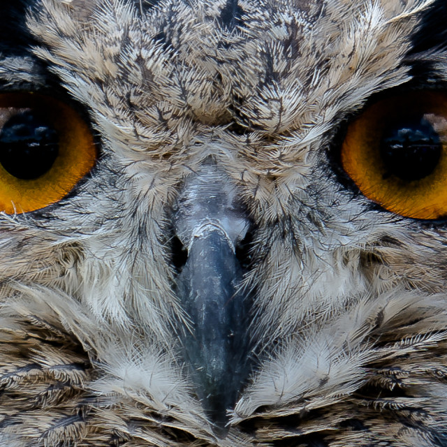 """Owl's face"" stock image"