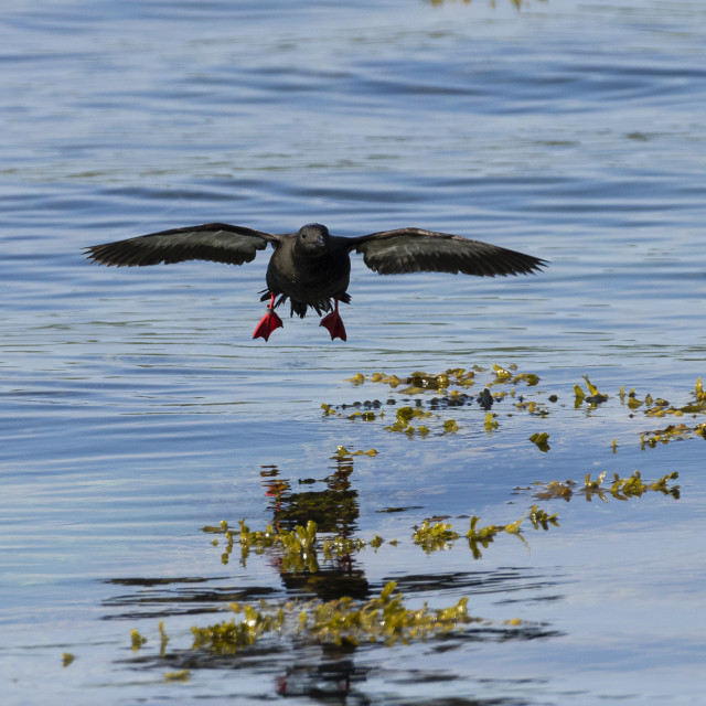 """Black Guillemot in flight"" stock image"