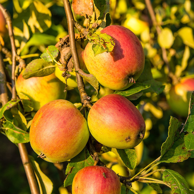 """""""Apples on the tree in orchard"""" stock image"""