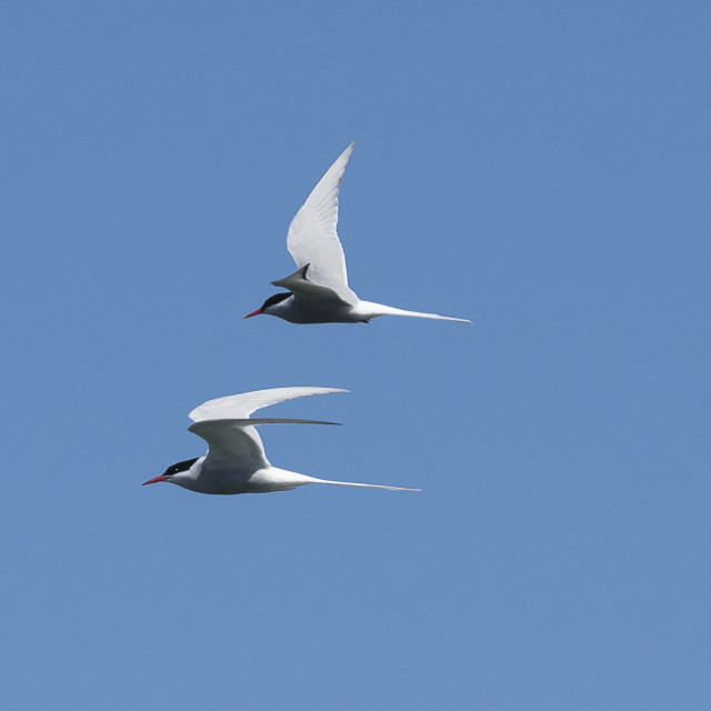 """Pair of Arctic Terns"" stock image"