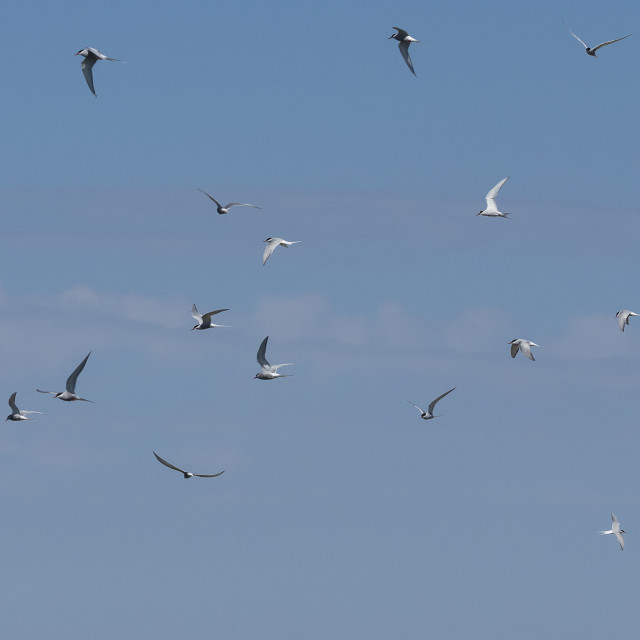 """Flying Terns"" stock image"