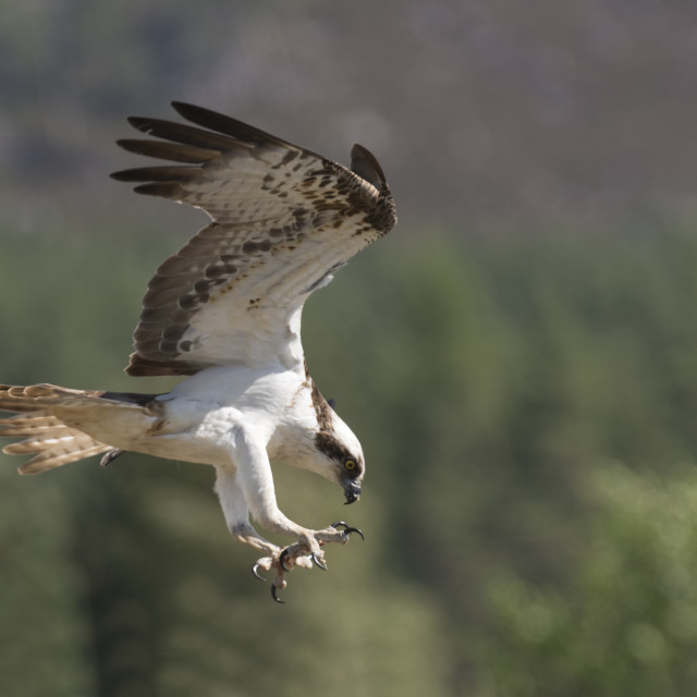 """Flying Osprey"" stock image"