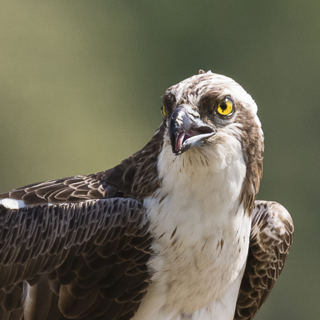 """Osprey eye"" stock image"