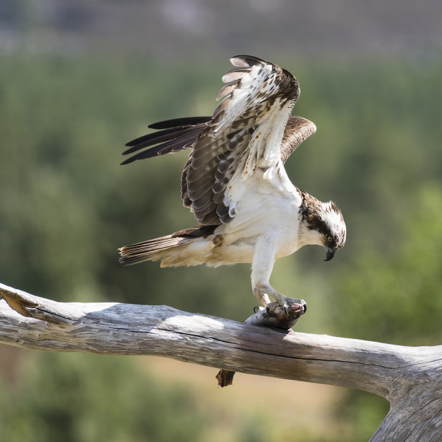 """Osprey with fish on perch"" stock image"