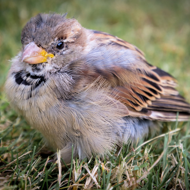 """House Sparrow"" stock image"