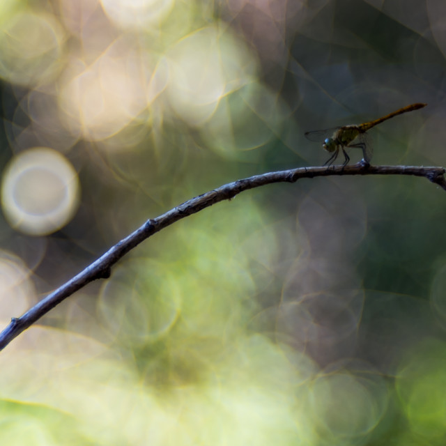 """A dragonfly with green/white bubble bokeh in background"" stock image"