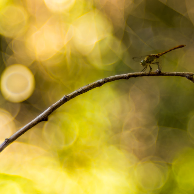 """A dragonfly with yellow bubble bokeh in background"" stock image"