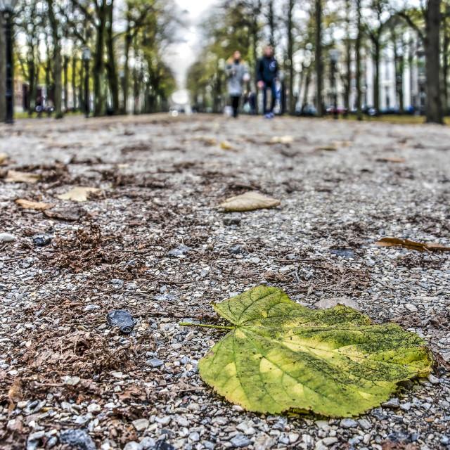 """Fallen leaf of a linden tree on gravel"" stock image"