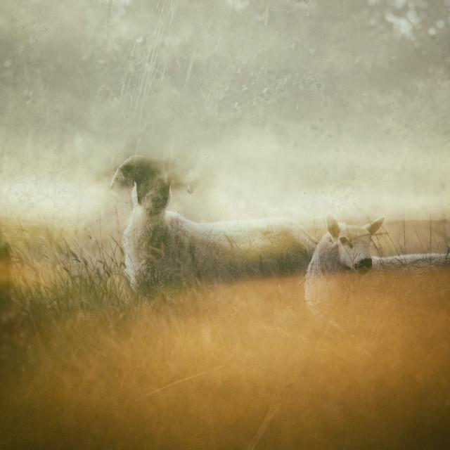 """""""Moorland Sheep - double exposure"""" stock image"""