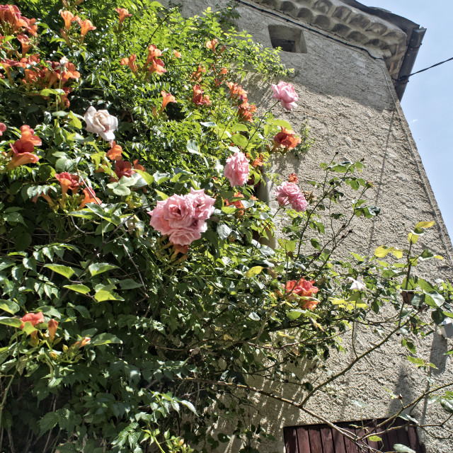 """""""Roses and jasmin on an old cottage wall"""" stock image"""