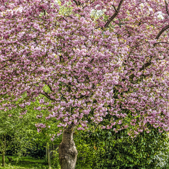 """Large prunus tree"" stock image"