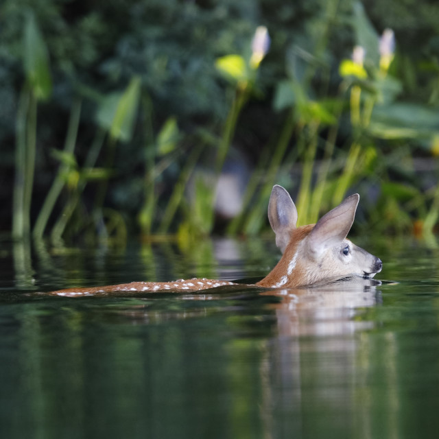 """""""White-tailed Deer fawn swimming by the shore of a lake"""" stock image"""