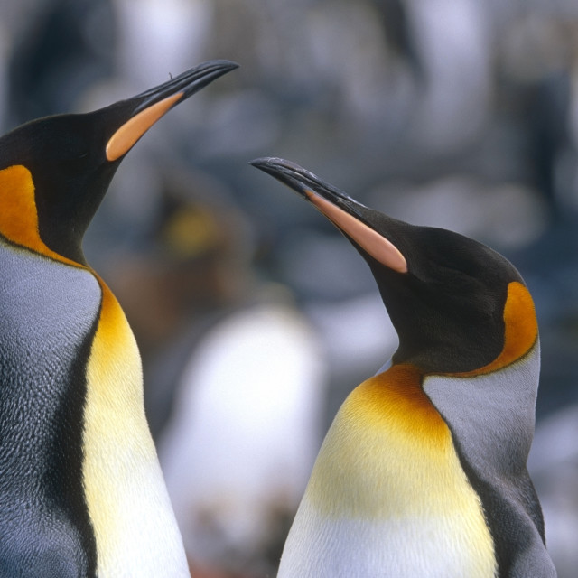 """Closeup Of King Penguins In Colony South Georgia Island Antarctic Summer"" stock image"