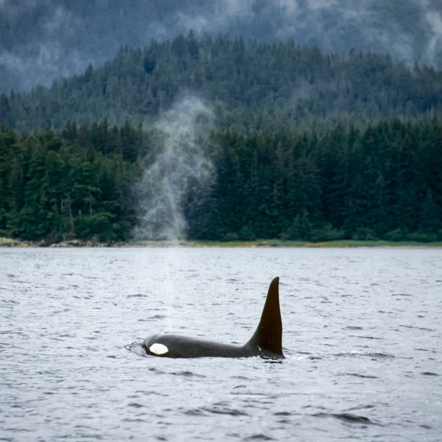 """Orca Whale Swimming Southeast Alaska"" stock image"