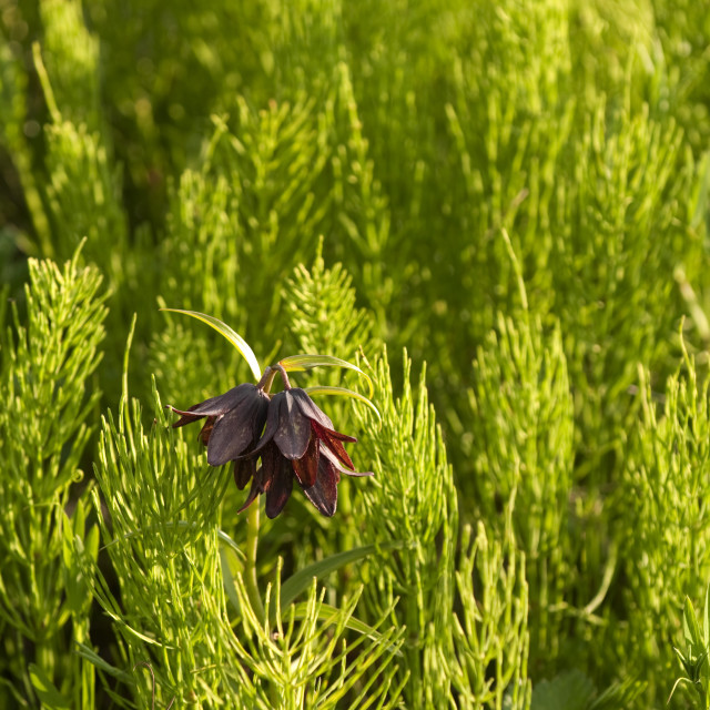 """Close Up Of A Chocolate Lily Growing Among The Horsetail Grasses In The..."" stock image"