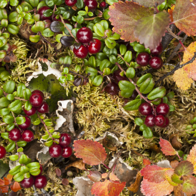 """Close Up Of Low Bush Cranberry And Dwarf Birch Provide Colors To The Alpine..."" stock image"