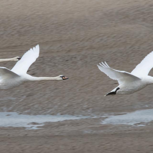 """""""Mute swan in flight (Cygnus olor)"""" stock image"""