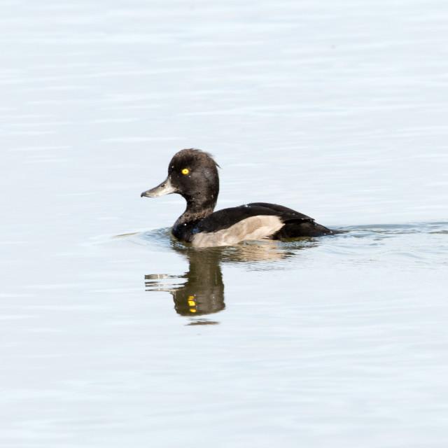 """Tufted Duck (Aythya fuligula)"" stock image"