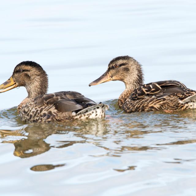"""Female Mallard Ducks (Anas platyrhynchos)"" stock image"