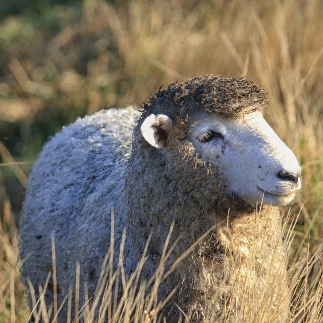 """Dirty sheep"" stock image"