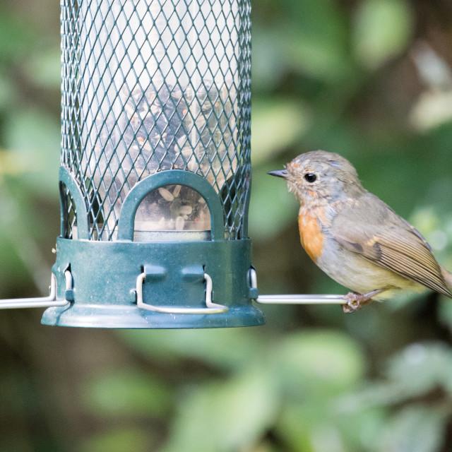"""""""Juvenile Robin on a garden bird feeder (Erithacus rubecula)"""" stock image"""
