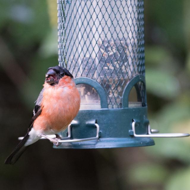 """Bullfinch (Pyrrhula pyrrhula)"" stock image"