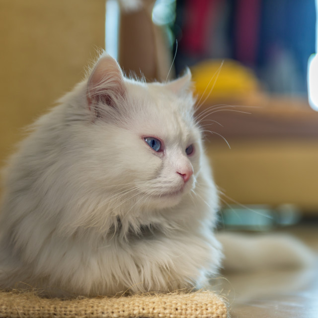 """""""White cat relaxing."""" stock image"""