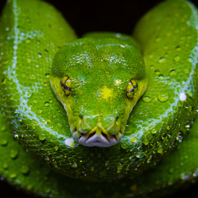 """Green tree python"" stock image"