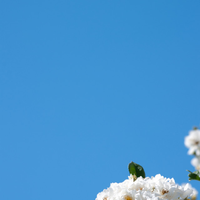 """White roses and blue sky background"" stock image"
