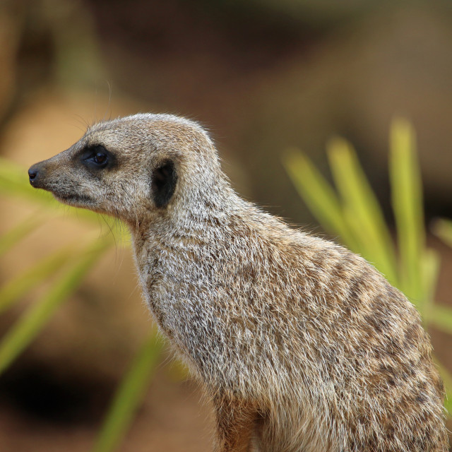 """Meerkat in close up"" stock image"