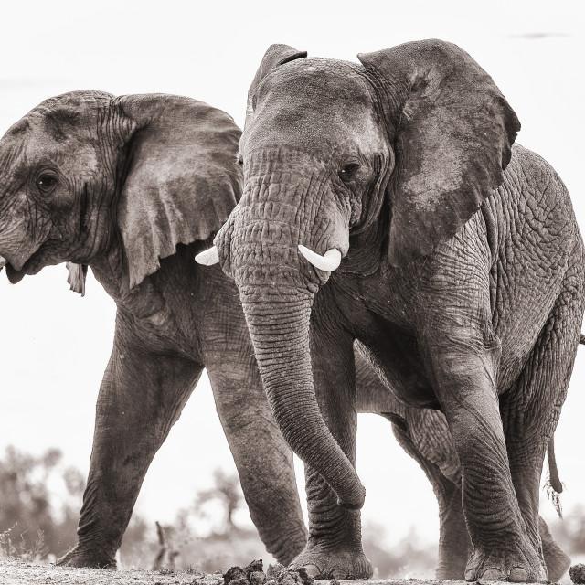 """""""Naughty elephants"""" stock image"""