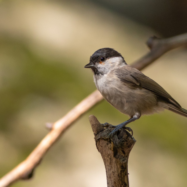 """Marsh tit - Poecile palustris"" stock image"