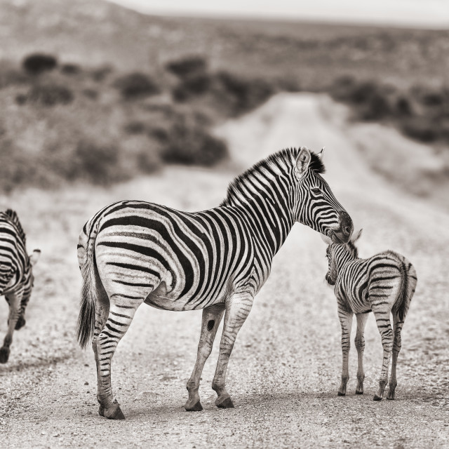 """""""Zebras on the road"""" stock image"""