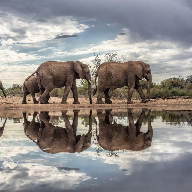 """Elephants at the waterhole"" stock image"