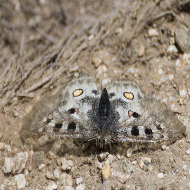 """Parnassius Apollo butterfly"" stock image"