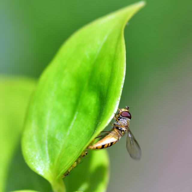 """""""Sun bathing Drone fly"""" stock image"""