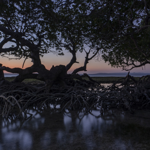"""""""Dusk and silhouette of mangrove"""" stock image"""