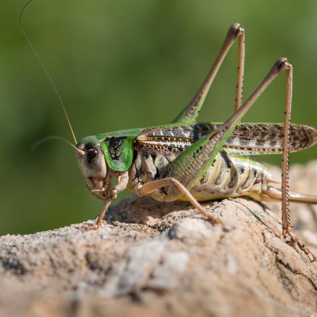 """""""Wart-biter bush-cricket - Decticus verrucivorus"""" stock image"""