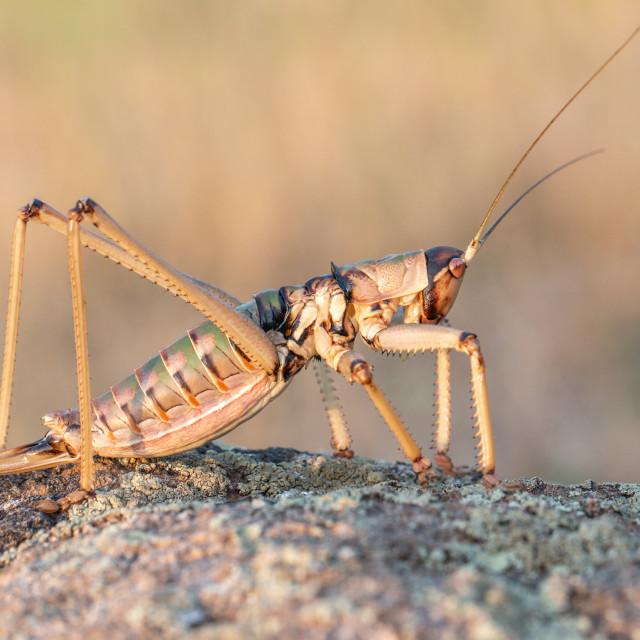 """Balkan Predatory Bush-cricket - Saga natoliae"" stock image"