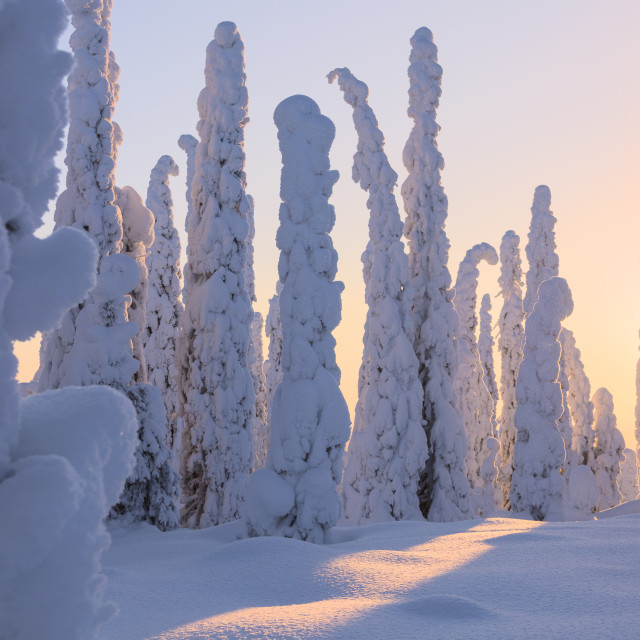 """Frozen spruce and pine trees, Riisitunturi National Park, Posio, Lapland,..."" stock image"