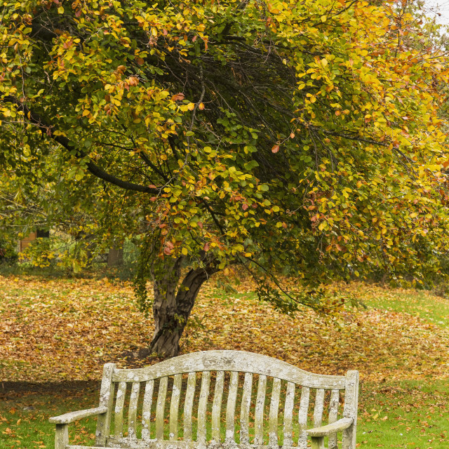 """""""Autumn tree and old bench"""" stock image"""