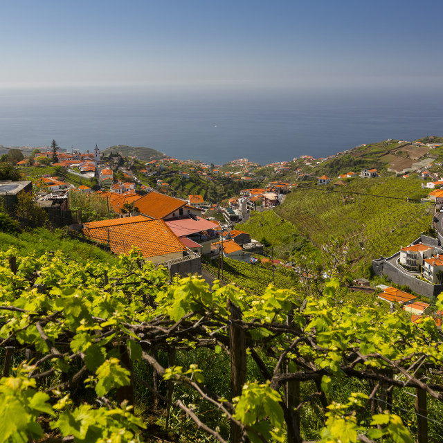 """View of vineyard, countryside and Atlantic Ocean near Cabo Girão, Camara de..."" stock image"