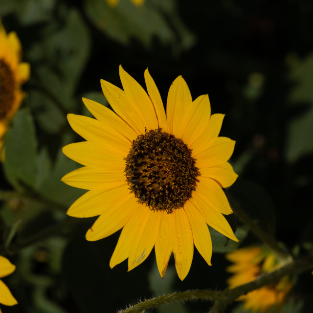 """Wild Sunflower - Helianthus annuus"" stock image"