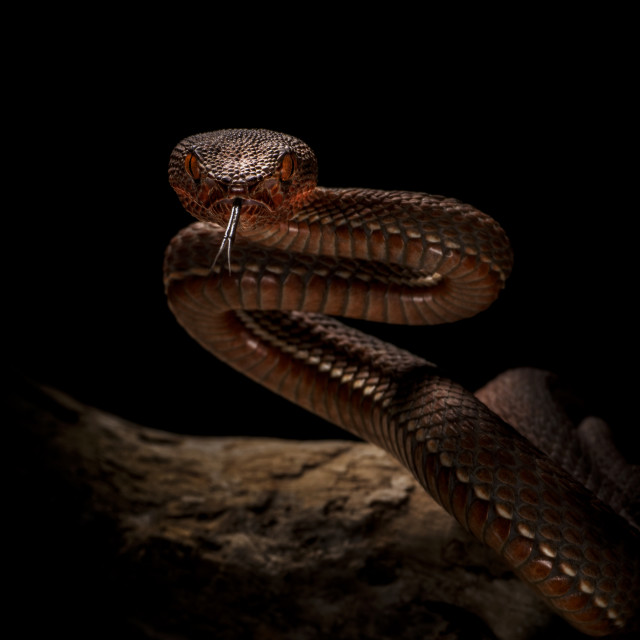 """""""the brown snake"""" stock image"""