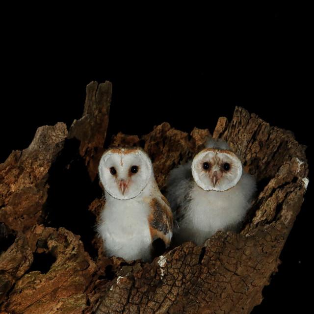 """Wild barn Owl Chicks"" stock image"