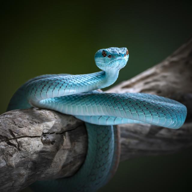 """the blue viper snake"" stock image"
