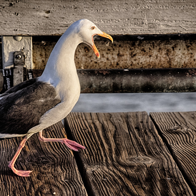 """A color portrait of a walking and arguing seagull"" stock image"