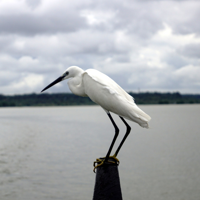 """Watchful Egret"" stock image"
